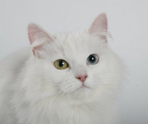 hvid kat med blå øjne